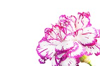 violet carnation over white background