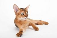 A lying kitten
