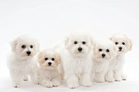 Five puppies in a line