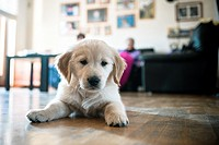 Golden retriever puppy in the house