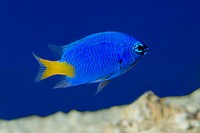 A Yellow-tailed blue damselfish (Chrysiptera parasema) swimming in an aquarium at King's Lynn Koi Centre Norfolk