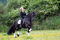 Friesian Horse. Gelding Nillis with rider performing a passage on a meadow