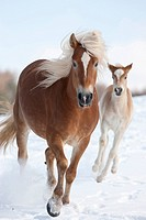 Haflinger Horse. Mare and foal in a gallop on a snowy meadow