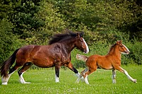Shire Horse. Mare with foal galloping on a meadow