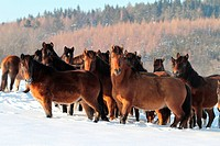 Hucul Pony, Carpathian Pony, Huzul. Herd standing on a snowy meadow