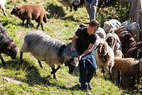 Transhumance - the great sheep trek across the main alpine crest in the Oetztal Alps between South Tyrol, Italy, and North Tyrol, Austria. The sheep a...