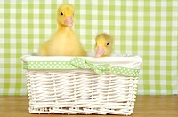 Domestic Goose, Pomeranian Goose. Two gosling in a wicker basket