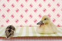 Siberian Hamster with a calling duckling