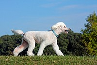 Domestic Dog, Pudel (Canis lupus familiaris). White adult walking on a meadow