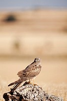 Montagu's Harrier (Circus pygargus) female perched on a stump. Lleida. Catalonia. Spain.