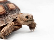 African Spurred Tortoise (Geochelone sulcata) isolated on white background