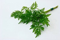 DEU, 2008: Cow Parsley, Wild Chervil, Wild Beaked Parsley (Anthriscus sylvestris), bundle of fresh leaves, studio picture.
