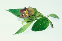 DEU, 2004: Belladonna, Deadly Nightshade, Devils Cherry (Atropa bella-donna), twig with leaves and flower, studio picture.
