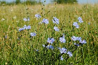 DEU, 2006: Common chicory (Cichorium intybus), flowering plant.