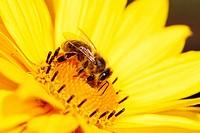 Yellow Maruertie Flower