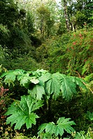 Chilean Rhubarb, Gunnera tinctoria Mirb. in the rainforest, Pumalin National Park, Chile, South America