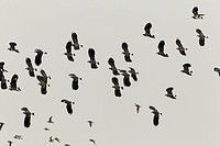 Lapwing flock (Vanellus vanellus) in the sky