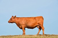 Brown cow against sky