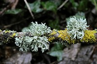 Ramelina fraxinea lichen with fruiting bodies, Wales