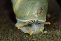 Snail. Image taken at Kampung Satau, Sarawak, Malaysia.