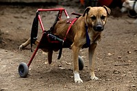 "A dog in a wheelchair stands at the """"Milagros Caninos,"""" or Canine Miracles dog sanctuary in Xochimilco, Mexico City, January 25, 2013. This dog was ..."