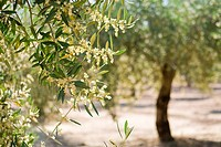 olive tree blossom, Spain