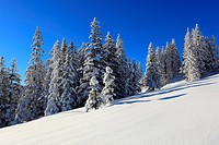 Alps, trees, spruce, spruces, sky, snow, Switzerland, Europe, sun, sunshine, fir, firs, wood, forest, winter, alpine, blue, sunny, snow-covered, snowy...