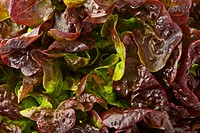 Red leaf lettuce, close up