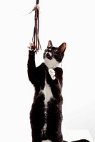 Black and white cat on white background, close up