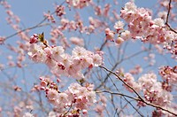Germany, Bavaria, View of Japanese cherry blossom, close up