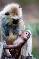 Southern plains gray langur (Semnopithecus dussumieri), female with young, Ranthambore National Park, Rajasthan, India