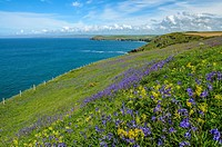 Bluebells growing on the North Cornwall coast by Port Quin Bay, England