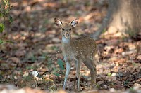 young Chital (Axis axis) standing in forest, Kanha National Park, Madhya Pradesh, India