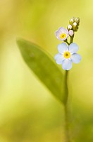 water forget-me-not (Myosotis palustris, Myosotis scorpioides), inflorescence, Germany