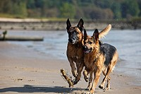 Malinois (Canis lupus f. familiaris), a German Shepherd and a Belgian Shepherd running at the beach of the Elbe, Germany, Hamburg