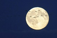 flock of geese in front of full moon, Goldenstedt, Niedersachsen, Deut