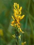 Dyer's greenweed, Dyer's greenweed (Genista tinctoria), inflorescence, deuschland