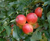apple tree (Malus domestica 'Gala', Malus domestica Gala), cultivar Gala, apples on a tree