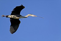 grey heron (Ardea cinerea), flying with branch in its beak, Germany, Schleswig-Holstein