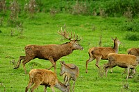 red deer (Cervus elaphus), group in a meadow, Germany, Bavaria