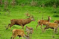 red deer (Cervus elaphus), group in a meadow, Germany, Bavaria