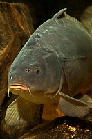 carp, common carp, European carp (Cyprinus carpio), front view of a mirror carp