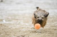 Gos d'Atura Català or Catalan Sheepdog, running after a ball