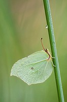 Common Brimstone Gonepteryx rhamni , female, Germany