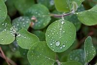delta botanical garden: lonicera etrusca leaves, rosolina mare, italy