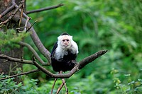 White Throated Capuchin,Cebus capucinus, South America, adult on tree