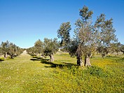 Olive trees in Pinto. Madrid. Spain
