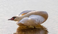 mute swan (Cygnus olor), standing in shallow water looking back with the neck lying over the back , Norway, Lake Chiemsee