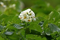 potato (Solanum tuberosum), flowers, Germany, Bavaria