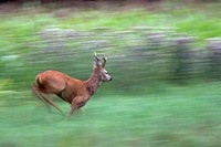 roe deer (Capreolus capreolus), buck running across a meadow, Germany, Schleswig-Holstein